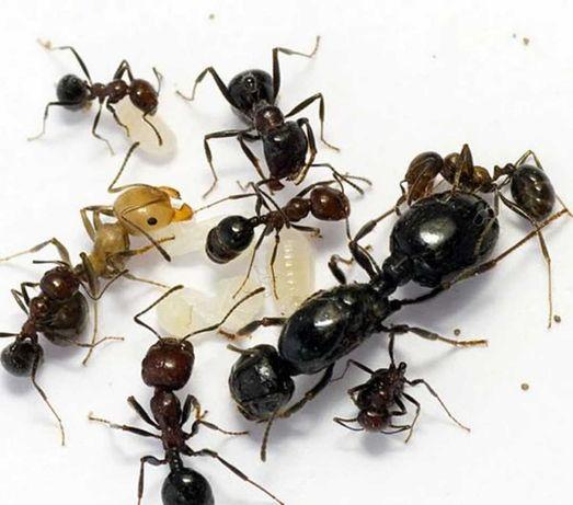 Messor Barbarus(mrówki żniwiarki)
