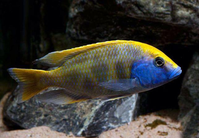 Pyszczak Wspaniały Nimbochromis venustus Malawi