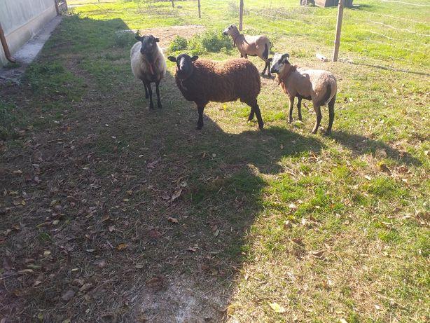 Owce kameruńskie i mięszane