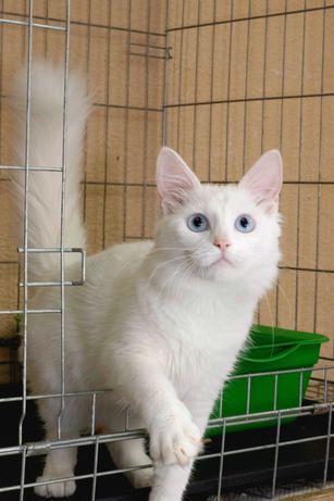 Великолепный котёнок Снежок (5 месяцев) порода Турецкая ангора.