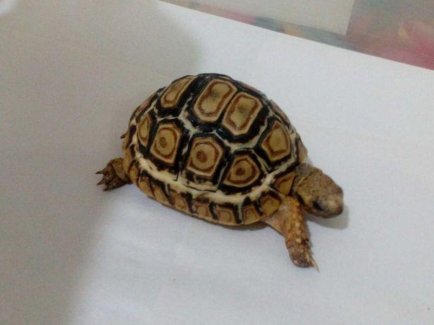 Пантеровая черепаха - подрощенный детёныш