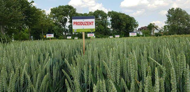 Pszenica Produzent świetna po kukurydzy Nowość cena brutto