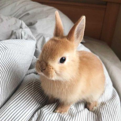 KIT completo coelhos anões angorá e minitoy muito fofos