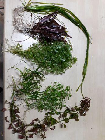 Zestaw roślin do akwarium