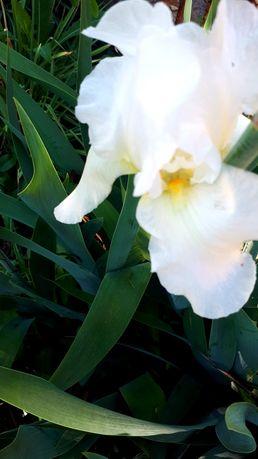 Высокорослые бородатые белые желтые ирисы петушки (клубни корни)