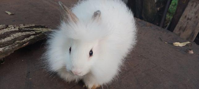 Карликовый Львиноголовый крольченок