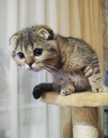 Scottish fold шиншиллята - вислоухие котята