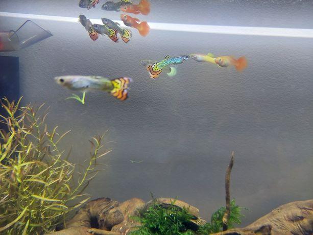Sprzedam Gupiki rybki akwariowe pawie oczka i inne