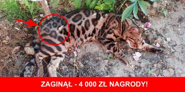 4 TYS ZŁ NAGRODY za odnalezienie naszego kota bengalskiego