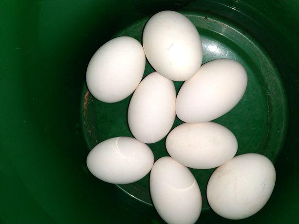 Jajka kurze, indycze, gęsie kacze,strusie oraz wydmuszki jaj strusich