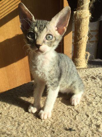 Gato com dois meses de idade Macho Lindo