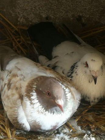 Gołębie dachowce