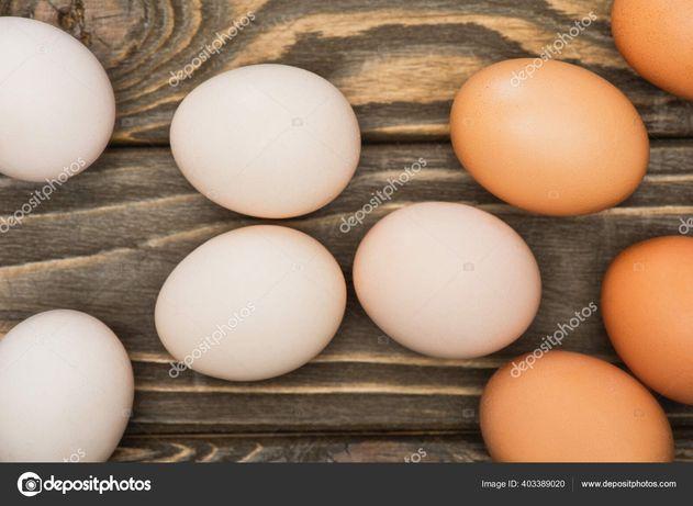 Инкубационное яйцо Адлер серебристый