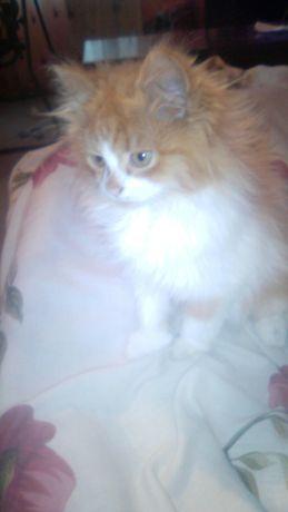Продам перса котика.
