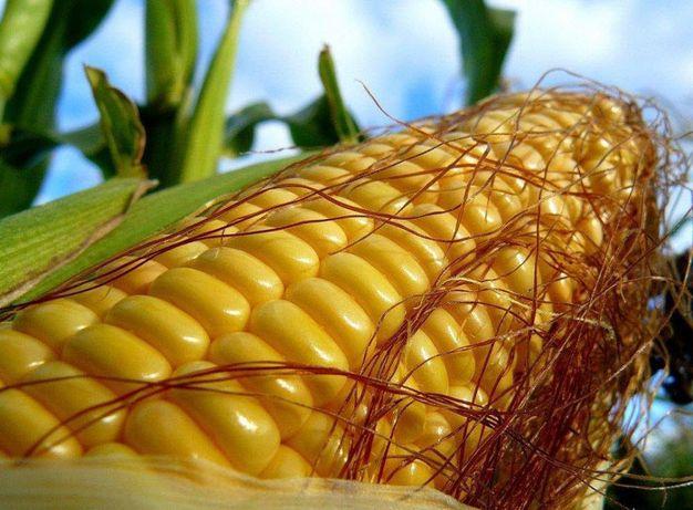 Семена кукурузы Канадский трансгенный гибрид ФАО 250,насіння кукурудзи
