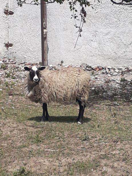 Вівці романівські (кітні)