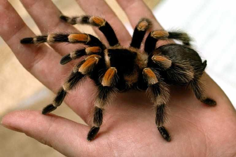 птахоїд початківцю-павук,цікава тварина для дому.паук брахіпельма корм