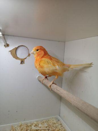 Kanarek pomarańczowy samiec