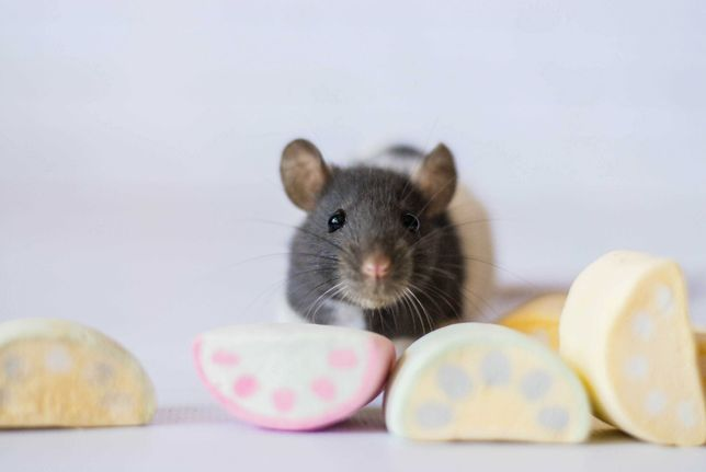 крысы и крысята из питомника