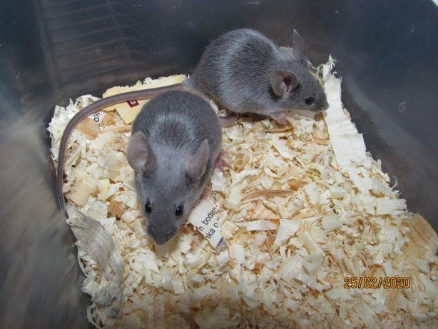 Myszy rasowe różne kolory