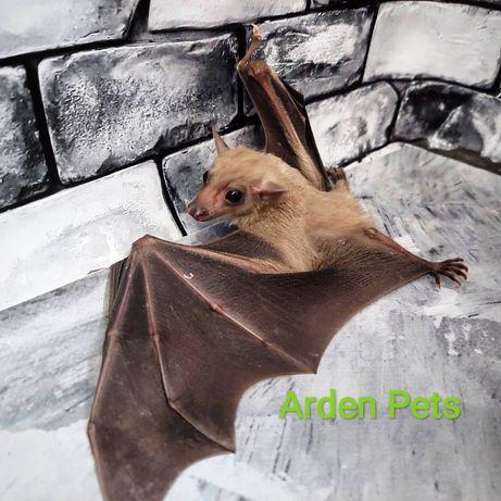 Египетская летучая собака, или нильский крылан (Rousettus aegyptiacus)