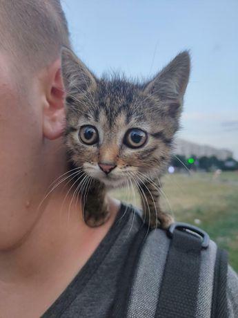 Отдам котёнка лесного окраса ,девочка ,1,5  месяца