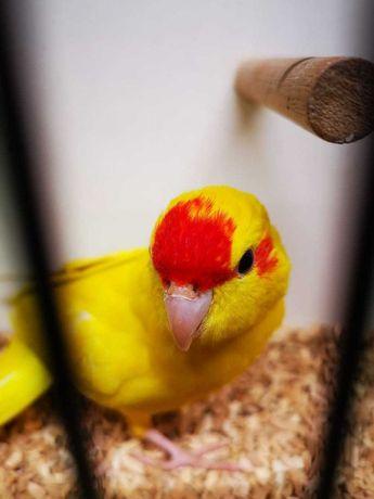 Попугай Корелла с клеткой и какарики многие другие выкормыши
