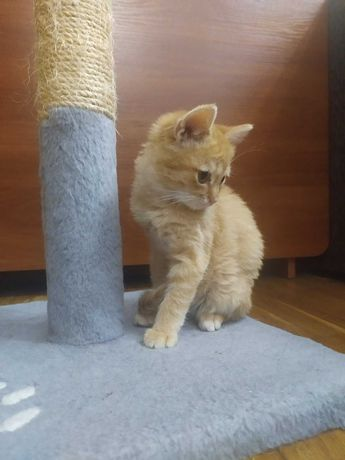 Кошечка рыжая бесплатно нуждается в помощи