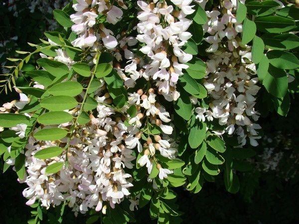 Robinia Akacjowa (Pseudoacacia) obwód 8-10cm, wys. 3-4m, z gruntu