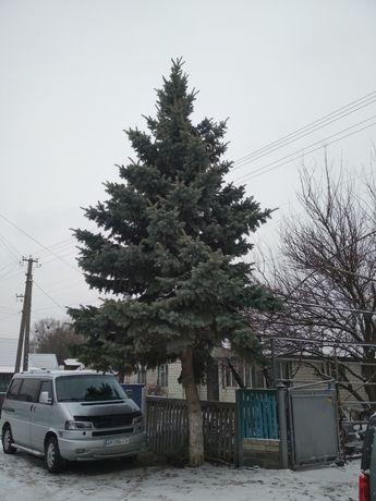 Новогодняя живая ель. Голувая елка.