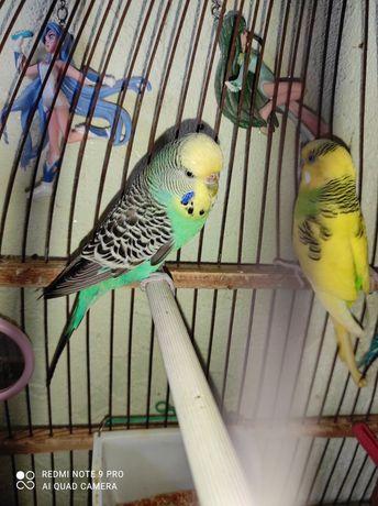 Попугай, папугаии, птицы