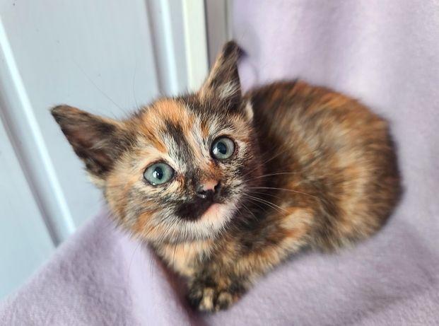 Нюся, черепаховый котенок 1,5 мес (кот, кошка, котик)