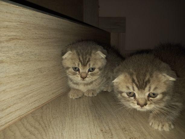 Чистокровні котики муркотики