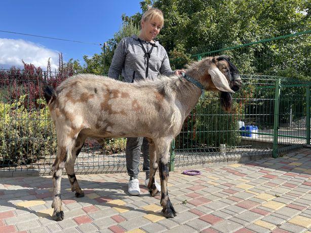 Нубийский 100%козел