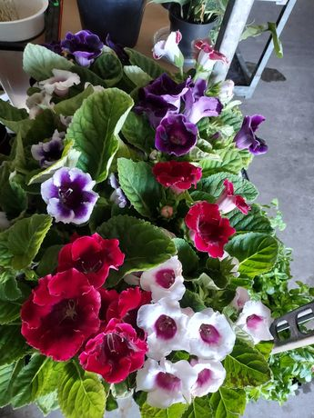 Gloxinias flor de vaso