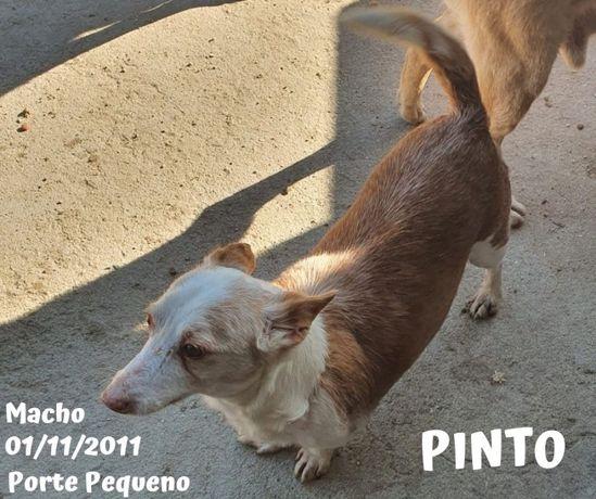 Cão Porte Pequeno Para Adoção (Pinto)
