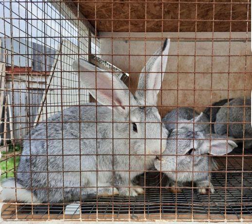 Продам дві кролишки