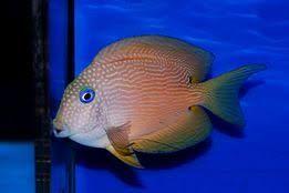 Akwarium morskie - Ctenochaetus Strigata