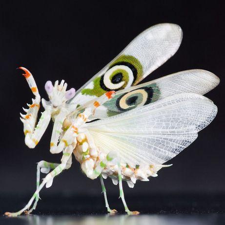 Modliszka Motylowa Pseudocreobotra wahlbergii SUBIMAGO