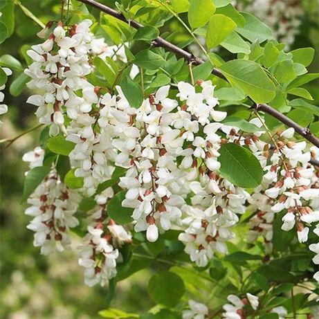 Акация белая (робиния) медонос саженцы купить украина дерево куст