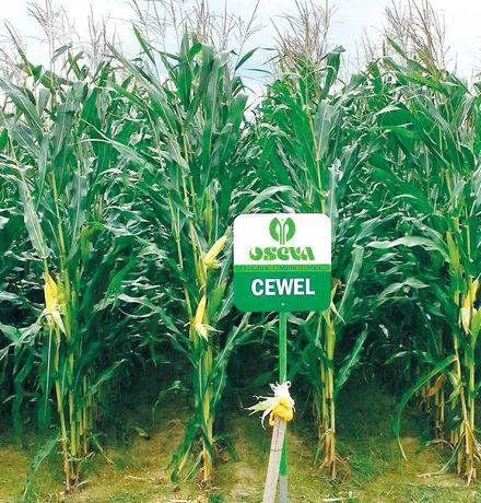Nasiona Kukurydzy CEWEL 150 FAO