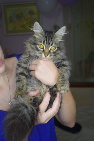 Мальчик котик-енот. Очень пушистый и необычный. Ручной до безумия