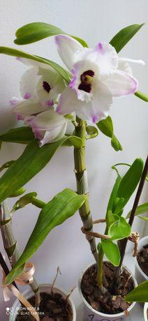 Орхідея Дендробіум, першоцвіт