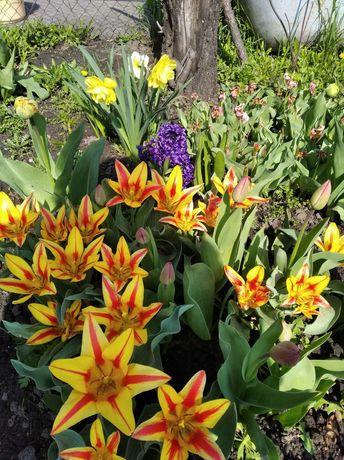 Тюльпаны ранние, низкорослые