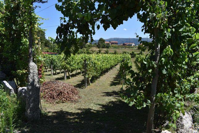 Terreno agrícola para produção de vinho e outro.