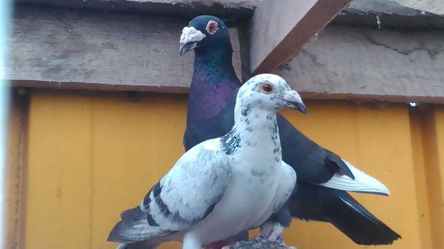 Gołębie staropolskie para