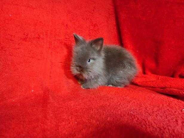 DO ODBIORU!! Królik karzełek Teddy Miniaturka Długowłosy