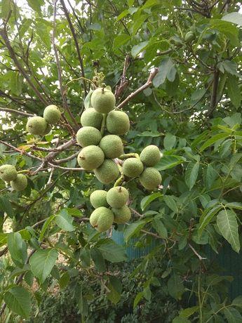 Саженцы грецкого ореха Кочерженко 1 годичные