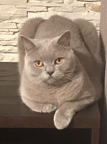 ZAGINĘŁA !! 3000zł !! nagrody dla znalazcy/informatora kot brytyjski