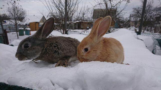 Продам кролики кроли на племя 5-6месяца . Самцы и самки кролики